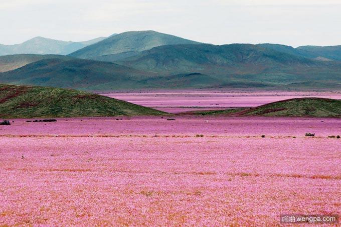 沙漠变花海 智利阿塔卡马沙漠变花海奇观