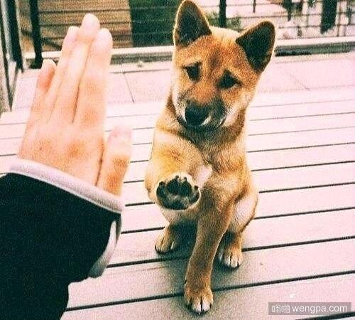 give me f 柴犬击掌,狗狗萌宠图片-嗡啪萌宠图片