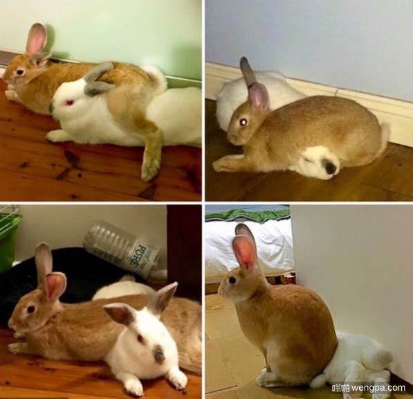 兔子萌宠图片 两个好朋友总有一个强势一个附从-嗡啪萌宠图片