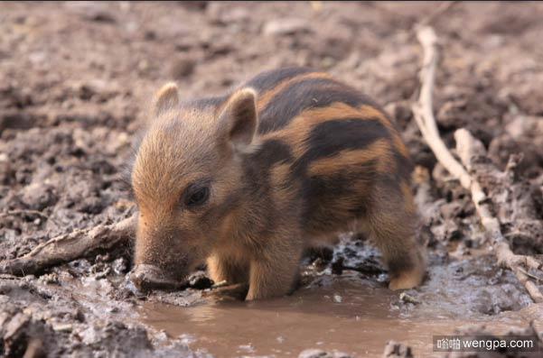 当我还是一个年轻的疣猪