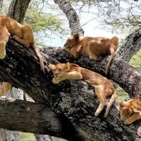 坦桑尼亚公园狮子扎堆集体树上小憩