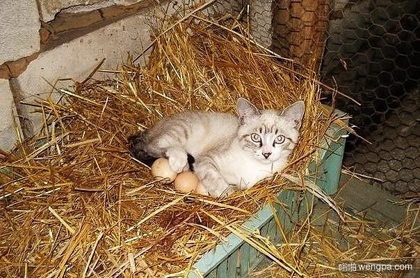 小猫帮助母鸡孵化鸡蛋