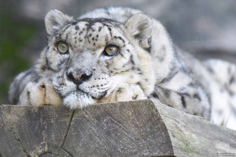 已知最老的雪豹Chyngyz 东京多摩动物园