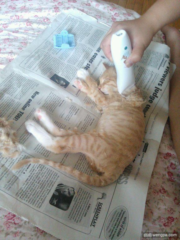 主人直播给睡觉的猫咪剃毛 猫咪一觉醒来直接懵逼了