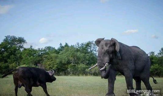 非洲野牛单挑大象 结局将会怎样?