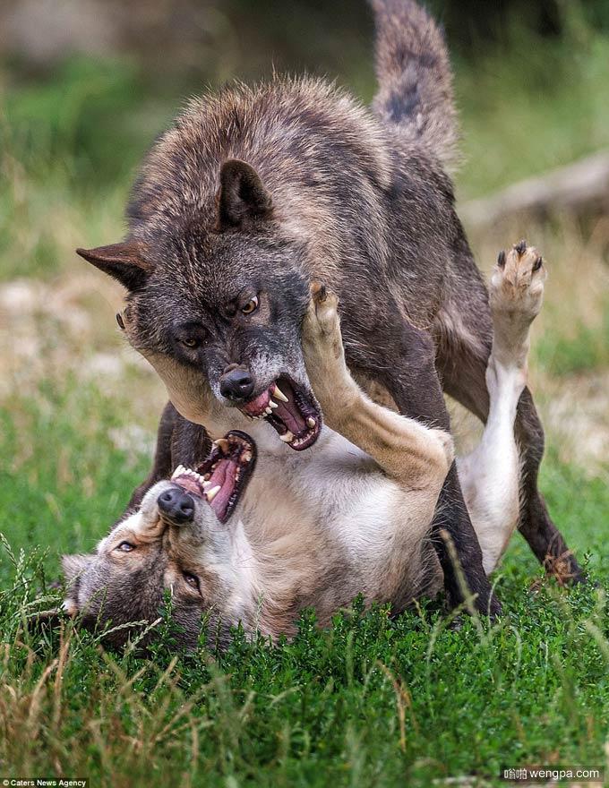 头狼树立它的威信