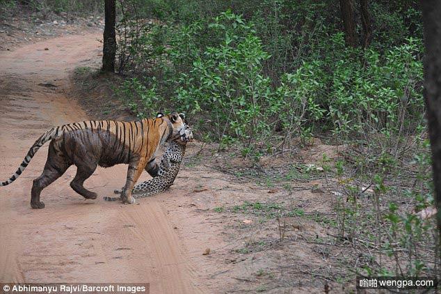 【虎豹对决视频】母老虎丛林中捕食豹子惊险场面