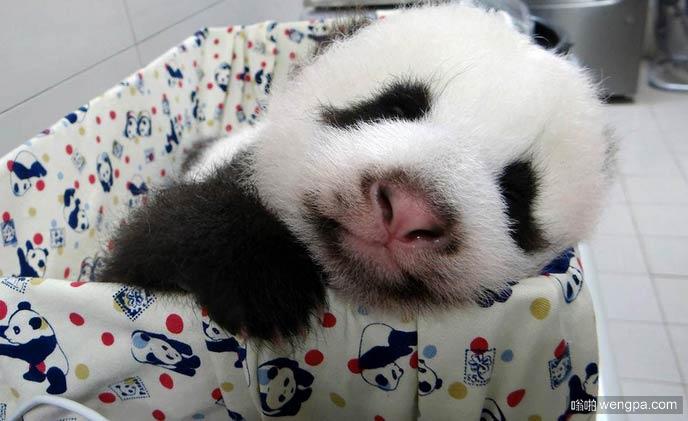 可爱的熊猫宝宝在午睡
