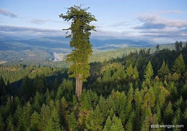 世界上最高的树 高115.6米 估计年龄800年