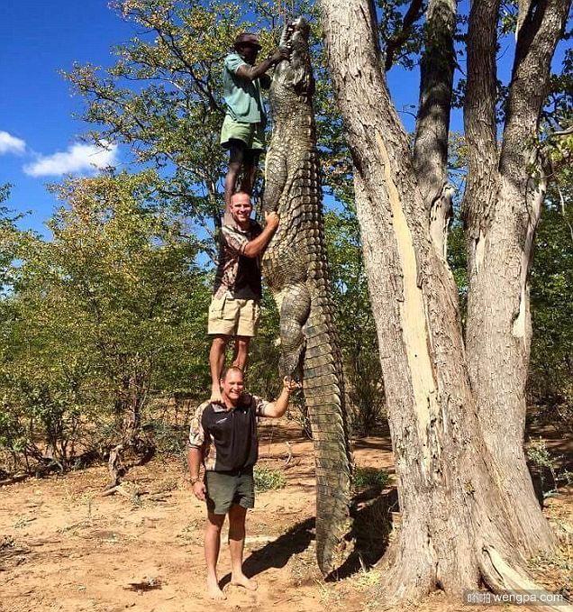 6米长鳄鱼在钓鱼场捕获  比三个成年男子身高总和还高