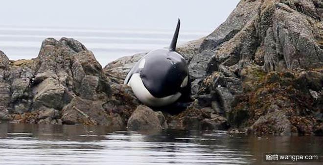 逆戟鲸搁浅呼救 最终被救援人员救出(组图)