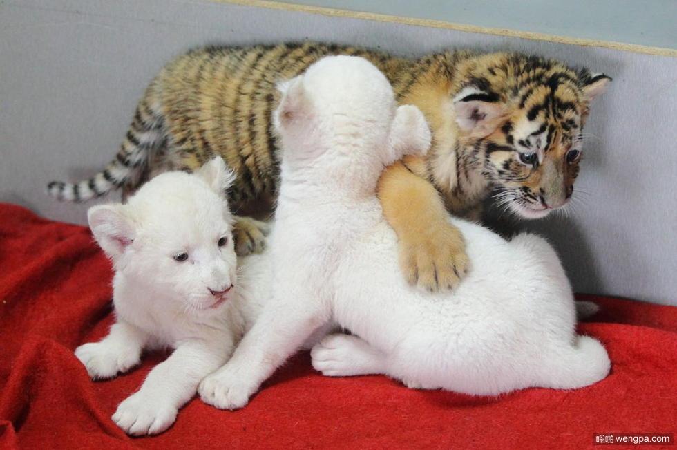 小白狮和小东北虎的一起玩耍