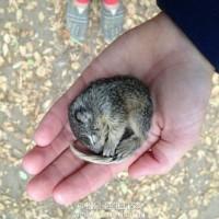松鼠宝宝从车祸中获救 恩人家的两只大狗对它也温柔有加