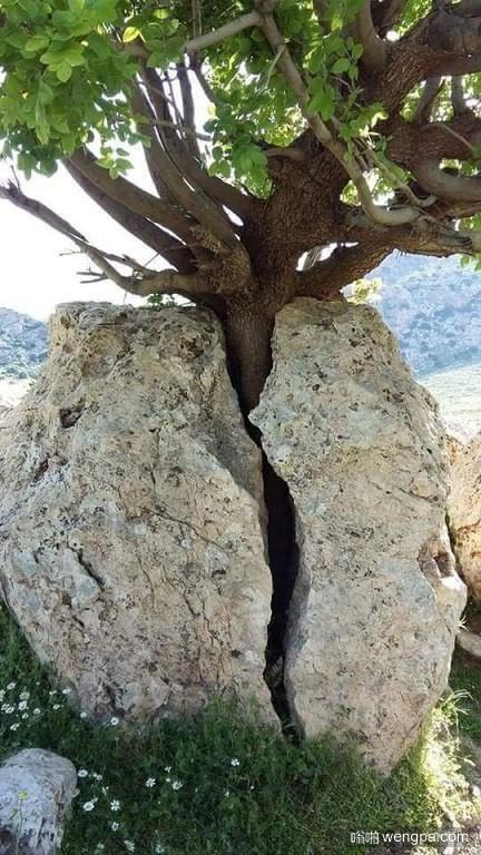 一颗大树从石头之间生长出来-嗡啪奇闻趣事