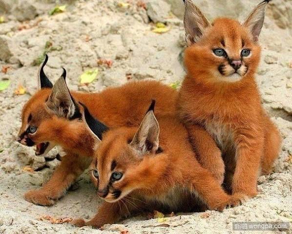 狞猫 生活在土库曼斯坦可爱的狞猫宝宝
