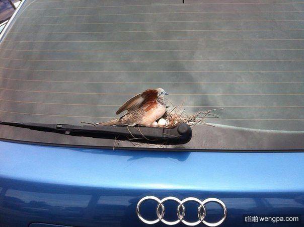 停了6天车,小鸟居然在后雨刷上做窝下蛋了。-嗡啪搞笑图片