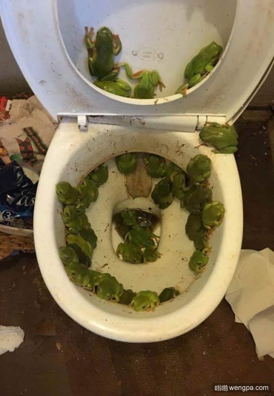 洪水过后马桶被青蛙占领了 怕青蛙的慎入