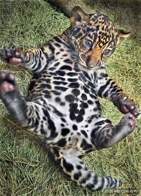 【小豹子萌宠图片】可爱小豹子练瑜伽-嗡啪萌宠图片
