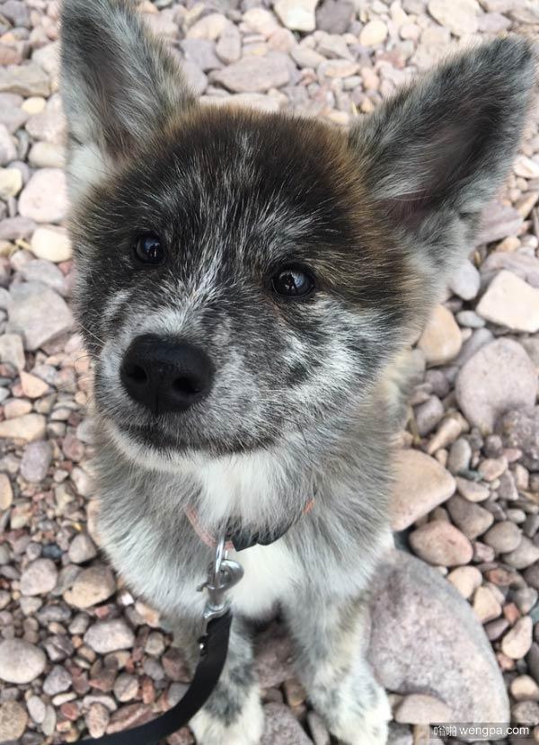 【萌宠图片】这是一只疯狂可爱的小狗!