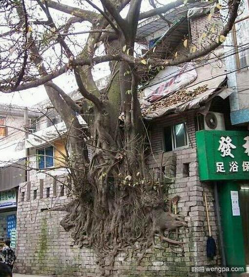 这树至少上百年吧