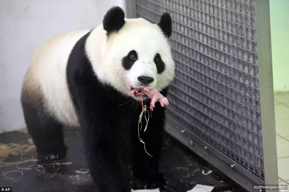"""今年首只海外大熊猫出生 旅居比利时大熊猫""""好好""""生崽(组图)"""