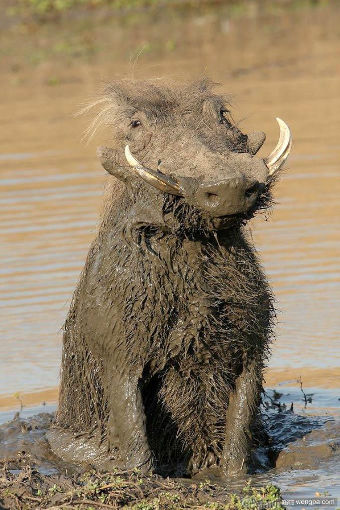 野猪喜欢泥塘