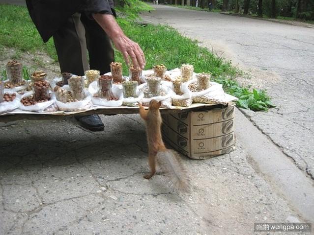 熟客:可爱松鼠在路边坚果摊讨吃花生坚果-嗡啪萌宠图片