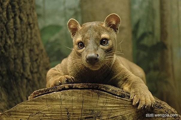 Fossa(马岛獴,又名隐肛狸) – 马达加斯加最大的食肉哺乳动物(组图)