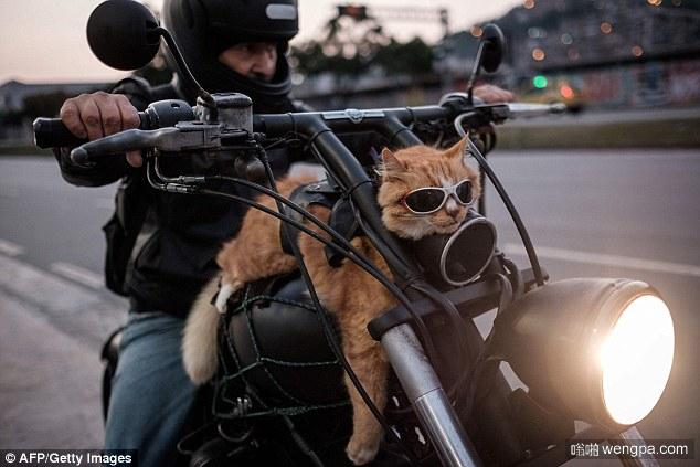 巴西加菲猫在里约热内卢戴墨镜骑哈雷招摇过市-嗡啪视频