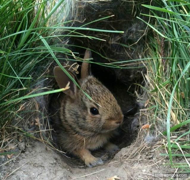 兔子不吃窝边草-嗡啪萌宠图片