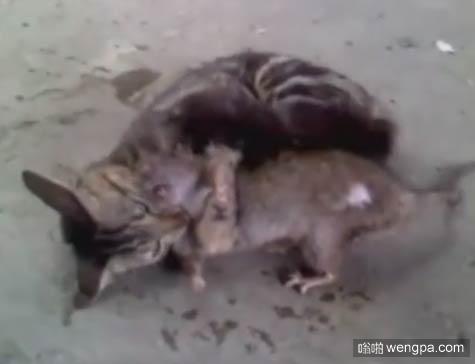 【视频】小猫咪咬住一只大老鼠 由于老鼠太大 折腾了大半天终于搞定了
