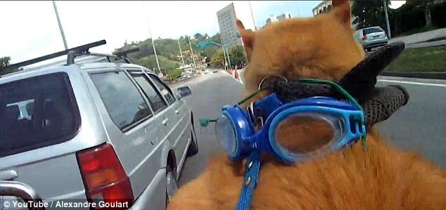 巴西加菲猫在里约热内卢戴墨镜骑哈雷招摇过市