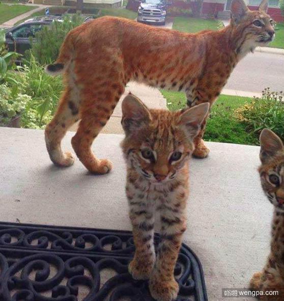 去屋外拿信件,有一只山猫带着两个山猫宝宝在门外