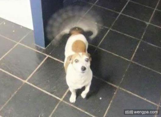 一张狗狗的静态图 能看出狗狗摇尾巴有多快