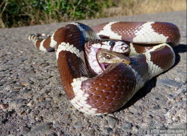 鳄蜥在王蛇的肚子中反击 蜥蜴后来逃跑了