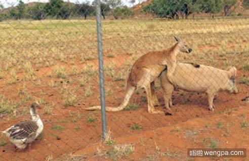 澳大利亚二三事 袋鼠*猪 鸭子观战