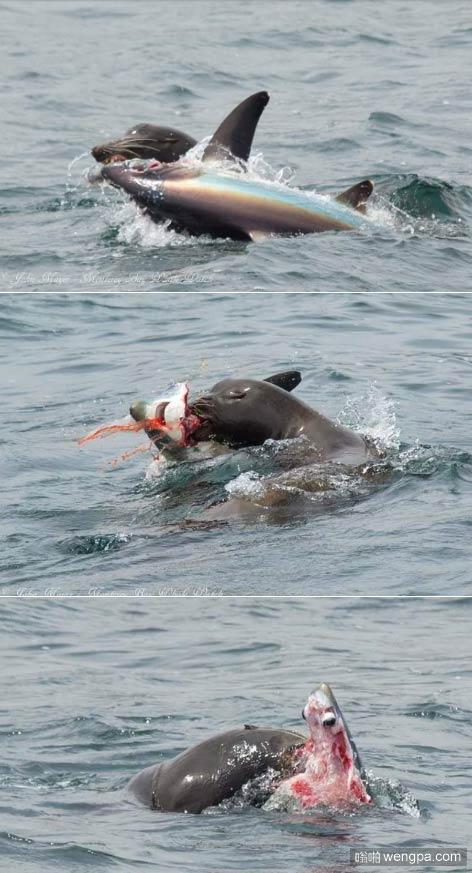加州海狮捕食长尾鲨