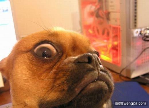 搞笑狗狗图片 狗狗表情 狗狗看到了什么恐怖的东西-嗡啪搞笑狗狗