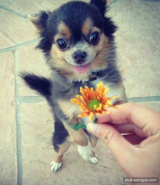 女人看见心爱的人送她花时的表情_狗狗搞笑表情-嗡啪萌宠图片