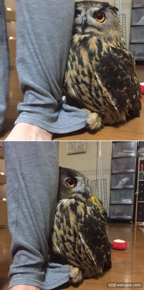 客人来访 家里的猫头鹰居然害羞-嗡啪萌宠图片
