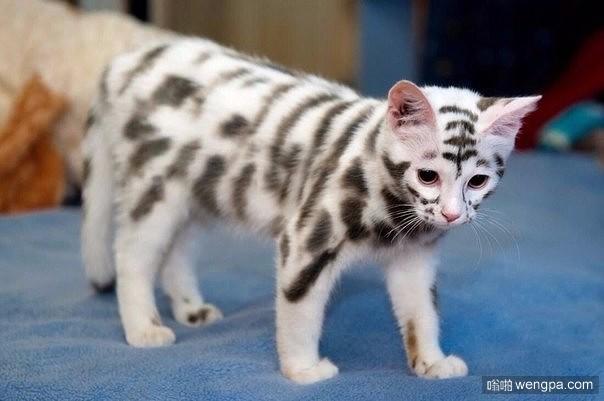 可爱的小猫有着白虎的花纹