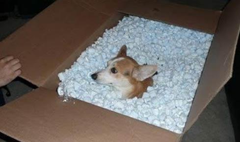 网购的柯基到货了_狗狗搞笑图片-嗡啪搞笑狗狗