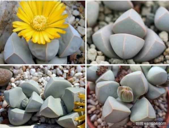 像石头一样的可爱多肉 还能开出小花 你喜欢吗