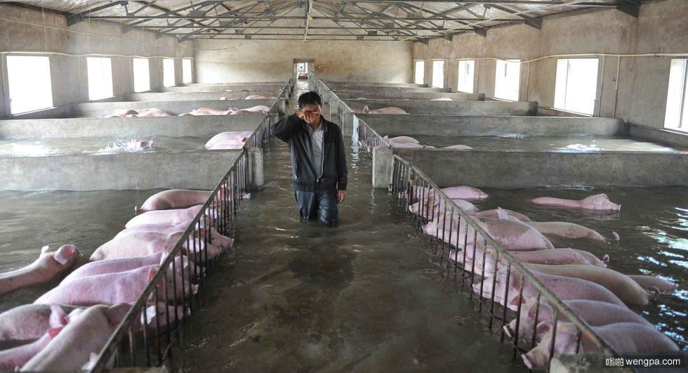 6000多头生猪遭遇洪灾无法转移 主人挥泪诀别