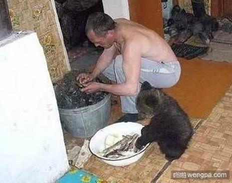 战斗民族的宠物 没白养 可以帮忙干活了 - 嗡啪搞笑动物