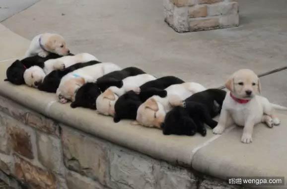 基因的奇妙 可爱拉布拉多小狗