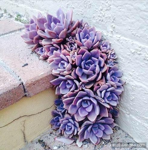 墙角的紫色多肉
