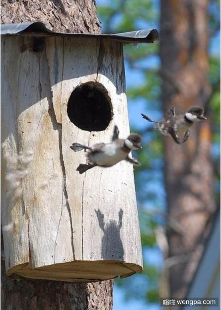 【小鸟萌宠图片】可爱小鸟第一次飞行-嗡啪萌宠图片