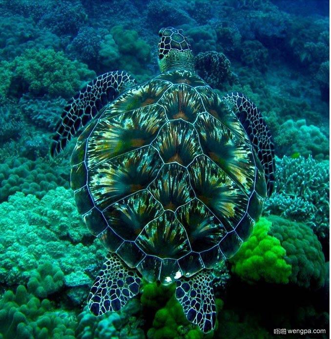 烟花海龟 海龟的贝壳有放烟花的图案