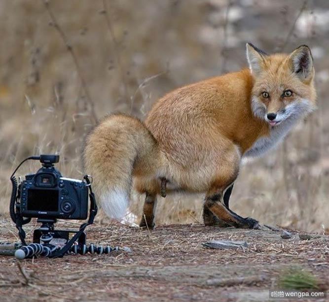 原来你是这样的狐狸